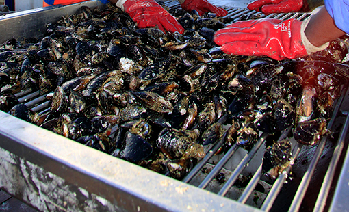imbaza mussel processing
