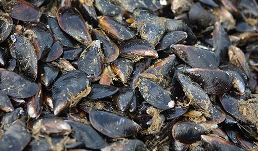 blue-ocean-mussels-mussel-processing